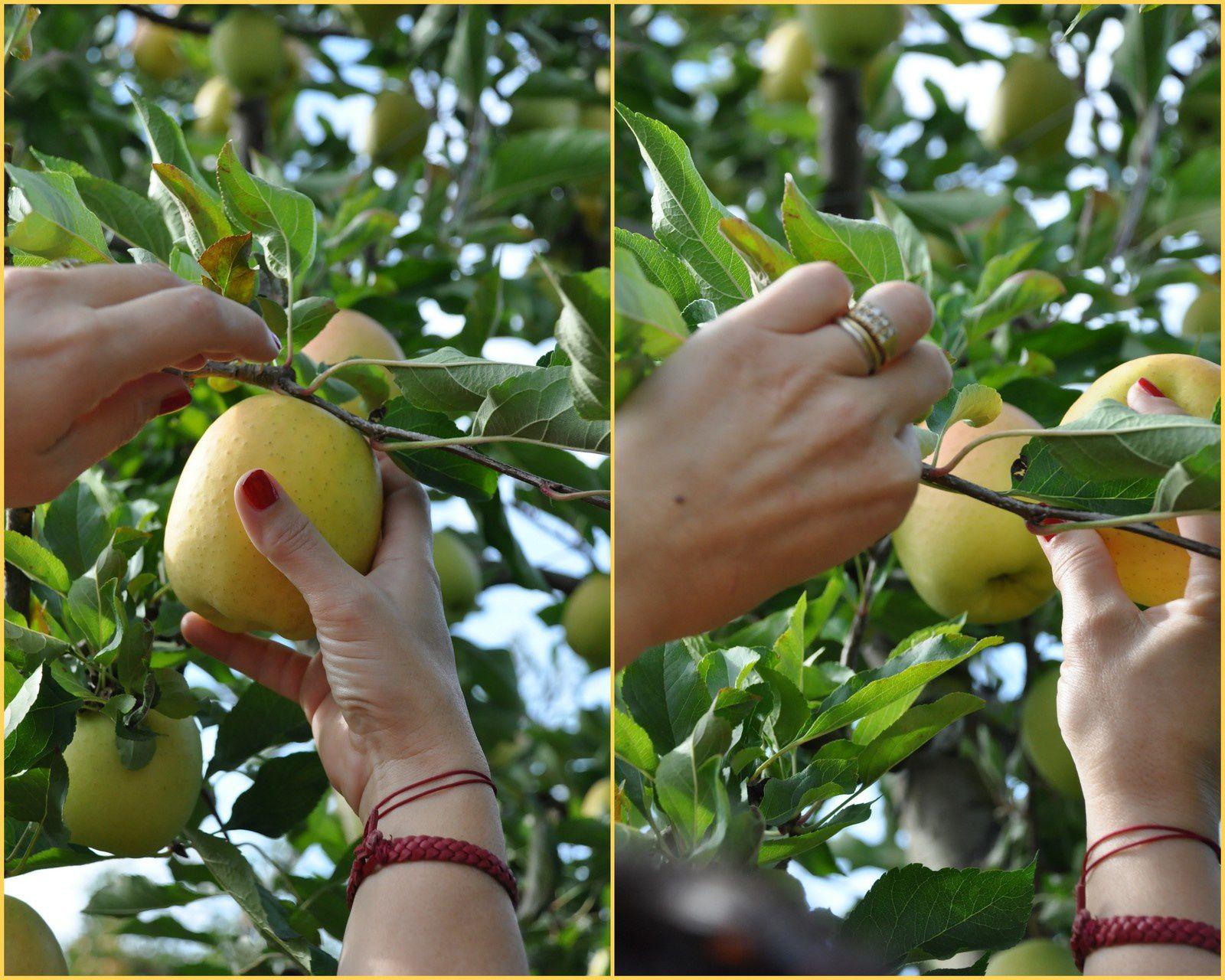 Rencontre-cueillette de la pomme Tentation en Anjou